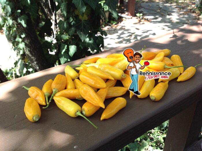 Baby Aji Amarillo Pepper