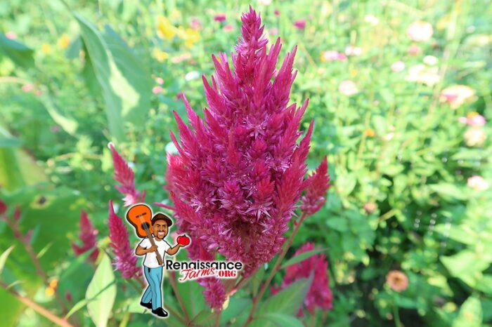 Celosia Flower Possibilities