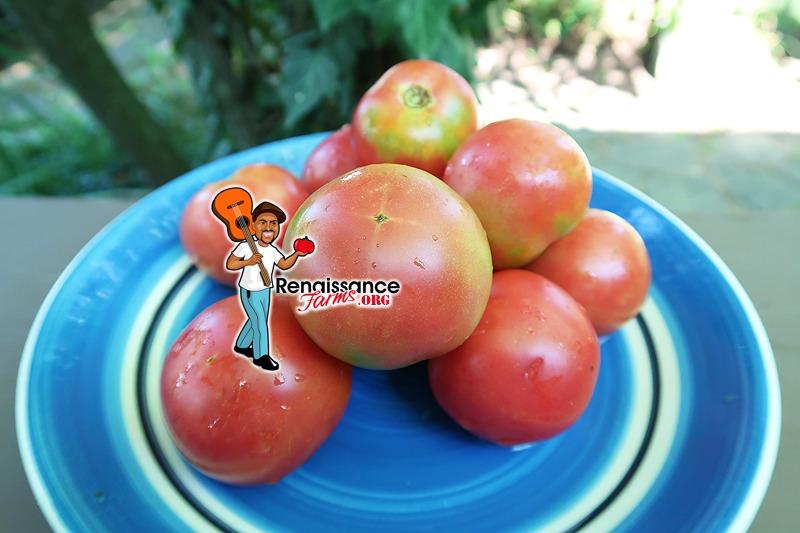Dwarf Clare Valley Pink Tomato