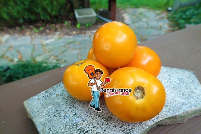 Dwarf Sweet Satsuma Tomato