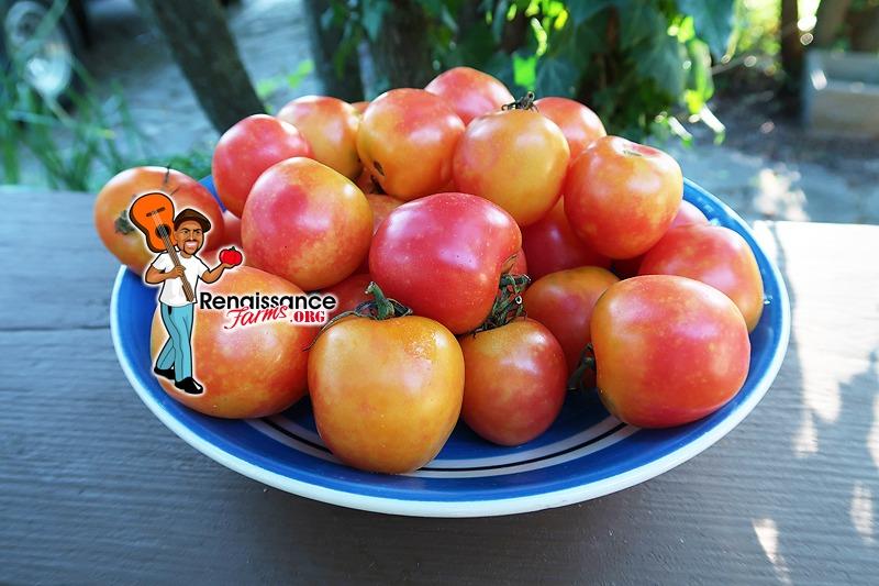 KARMA Apricot Tomato