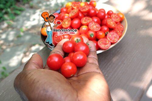 Micro Tina Micro Dwarf Tomato