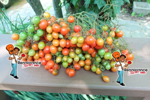 Myriam Tomato