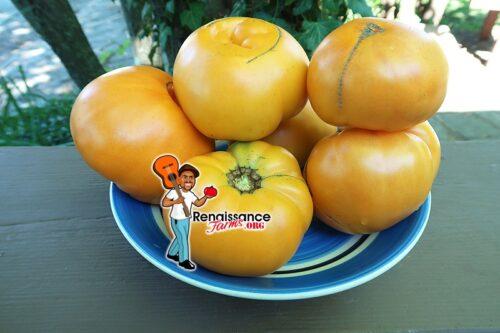 Old Wyandotte Tomato