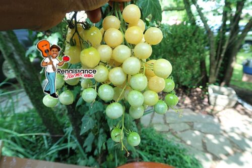 Reinhard Kraft's Goldkshire Cherry Tomato