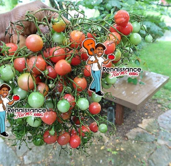 Rose Quartz Multiflora Tomato