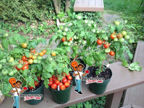 Snegirjok Micro Dwarf Tomato