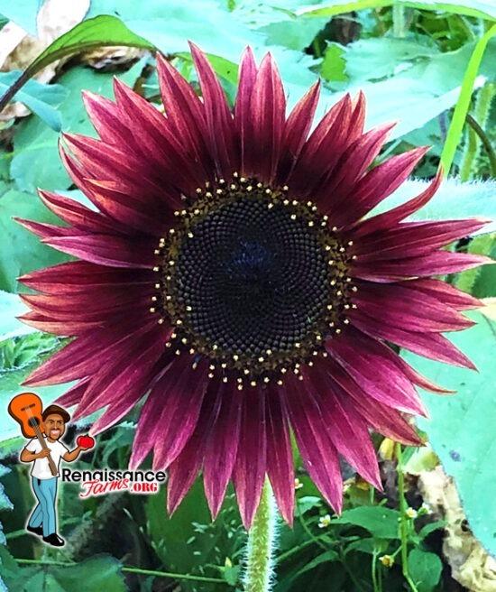 Sunflower Mix Possibilities