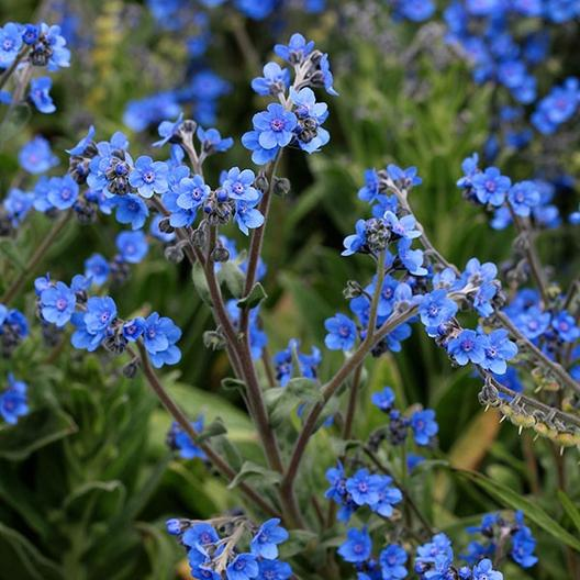 Chinese Forget Me Not
