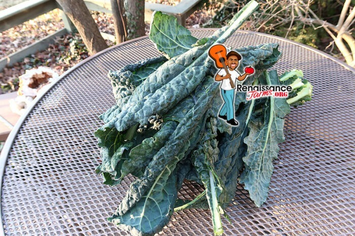 Lacinato Kale 3