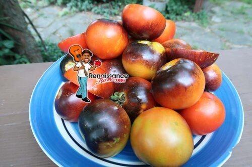 Cosmos Tomato